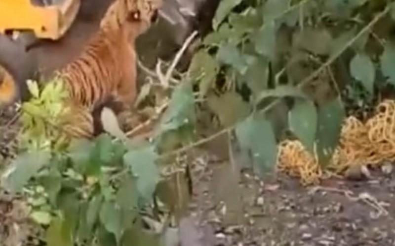 Vídeo: Tigre que matou duas pessoas é esmagado por retroescavadeira