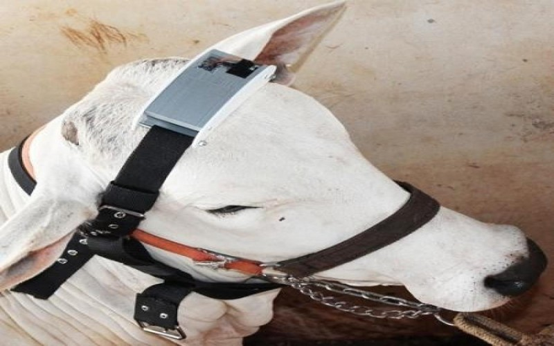 Empresa chinesa vai monitorar gado brasileiro com sensores na cabeça.